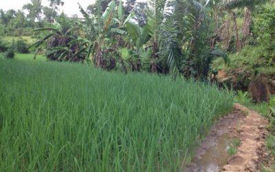 L'amélioration de la culture du riz à Ambatofotsy